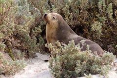 Une otarie femelle mammifère à la baie de joint en île de kangourou Photographie stock