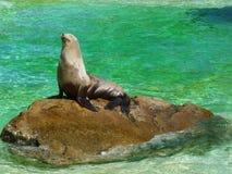 Une otarie prenant un bain de soleil sur une roche Photos libres de droits
