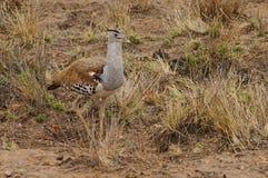 Une outarde de kori cherchant pour des proies parmi l'herbe Kruger, Afrique du Sud photo stock