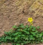 Une oxalide blanche petite oseille jaune au sol devant le mur de roche Photo libre de droits
