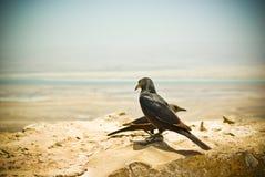 Une paire d'étourneaux dans le musée de Masada Photos stock