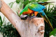 Une paire d'aras rouge-et-bleus Photo stock