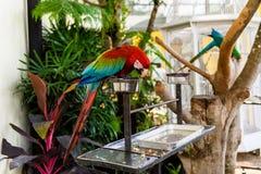 Une paire d'aras rouge-et-bleus Images libres de droits