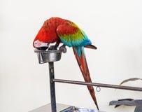Une paire d'aras rouge-et-bleus Image libre de droits