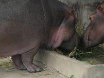 Une paire d'hippopotames mangeant l'herbe Images libres de droits