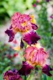 Une paire d'iris barbu coloré fleurit avec des nuances de rose, de violette et de jaune Images stock