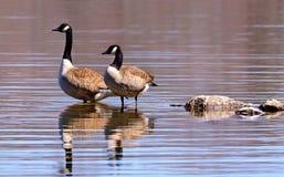 Oies canadiennes pataugeant dans un lac Images stock