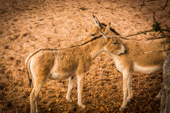 Une paire d'Onagers persans Photo stock
