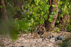 Une paire de accouplement de tigres se reposant après des ronds de l'accouplement entre ces deux tigres au ranthambore images stock