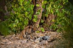 Une paire de accouplement de tigres se reposant après des ronds de l'accouplement entre ces deux tigres au ranthambore photos stock