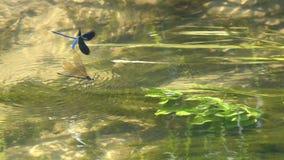 Une paire de beaux jeux d'amour de Vierge de /Calopteryx de Demoiselle de libellules au-dessus de l'eau, mouvement lent banque de vidéos