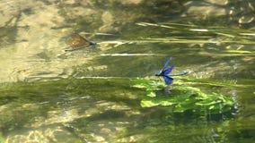 Une paire de belle Vierge de calopteryx de demoiselle de libellules, jeux d'amour au-dessus de l'eau, mouvement lent banque de vidéos