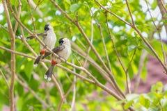 Une paire de bulbuls rouge-barbus plume leurs plumes sur l'arbre Photographie stock libre de droits