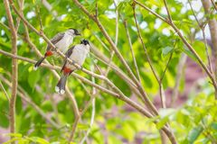 Une paire de bulbuls rouge-barbus se repose sur l'arbre Photographie stock libre de droits