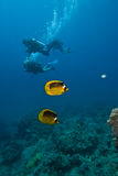 Une paire de butterflyfish rayé avec des plongeurs Photographie stock libre de droits