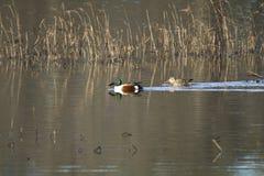 Une paire de canards de canard souchet de Norther photographie stock libre de droits