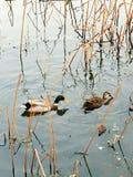 Une paire de canards de mandarine Photos libres de droits