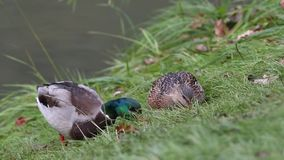 Une paire de canards mange l'herbe clips vidéos