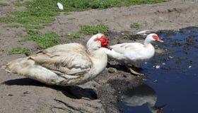 Une paire de canards de musc blancs rustiques Photos stock