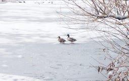 Une paire de canards sauvages sur la glace congelée s'accumule Images libres de droits