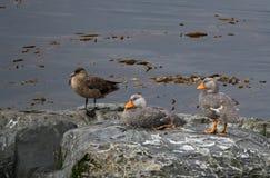 Une paire de canards de vapeur avec un stercoraire Images stock