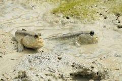 Une paire de capitaines géants de boue Image libre de droits