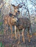 Une paire de cerfs communs curieux dans le forrest avec des andouillers Image stock