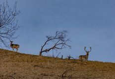 Une paire de cerfs communs sur une colline et un champ vert d'arbre et brun solitaire image stock
