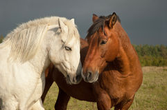 Une paire de chevaux affichant l'affection Image libre de droits