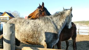 Une paire de chevaux affichant l'affection Cheval blanc et brun caressant Photos libres de droits