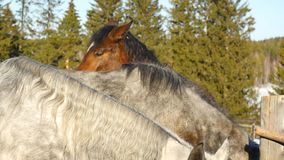 Une paire de chevaux affichant l'affection Cheval blanc et brun caressant Photo stock