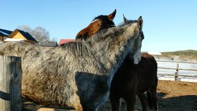 Une paire de chevaux affichant l'affection Cheval blanc et brun caressant Photographie stock