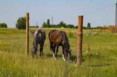 Une paire de chevaux frôle sur le pâturage clôturé photo stock