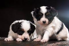 Une paire de chiots mignons Image libre de droits