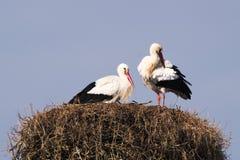 Une paire de cigognes dans le nid Photo libre de droits