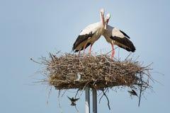 Une paire de cigognes dans le nid Photos libres de droits