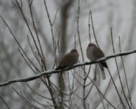 Une paire de colombes de deuil image libre de droits