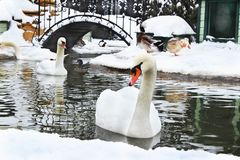 Une paire de cygnes blancs avec de belles plumes nage dans l'étang i Images stock