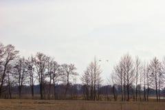 Une paire de cygnes blancs volant au-dessus des prés inondés Images stock
