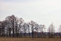 Une paire de cygnes blancs volant au-dessus des prés inondés Photos libres de droits