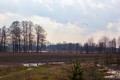 Une paire de cygnes blancs volant au-dessus des prés inondés Photo stock