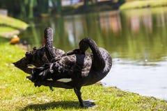 Une paire de cygnes noirs Photographie stock libre de droits