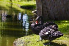 Une paire de cygnes noirs Photographie stock