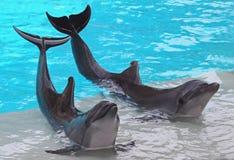 Une paire de dauphins Photographie stock