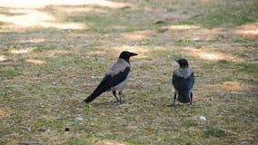 Une paire de deux corbeaux noirs marche sur une pelouse verte en parc ou forêt recherchant la nourriture Observation de la vie d' clips vidéos