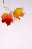 Une paire de feuilles d'érable colorées d'automne Photos libres de droits