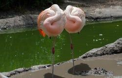 Une paire de flamants - famille Phoenicopteriformes Image stock