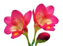 Une paire de fleurs de Freesia Photos libres de droits
