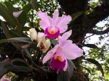 Une paire de fleurs exotiques tropicales ornementales épiphytes, orchidées roses de Cattleya photo stock