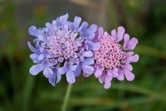 Une paire de fleurs de montagne dans l'amour images libres de droits